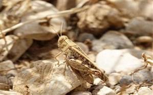 مبارزه با ملخ صحرایی در سطح ۲۹۳ هزار از اراضی کشور انجام شد