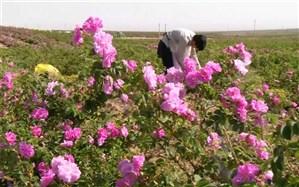 برداشت ۱۷۸ تن گل محمدی از مزارع استان البرز