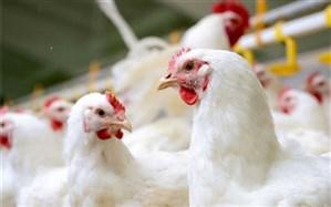 یوسفی: مرغداران بخشی از نهاده تولید را از بازار آزاد و با قیمت گزاف  تهیه میکنند