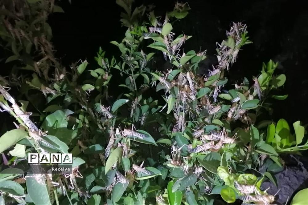 حمله ملخ ها به مزارع در قیروکارزین فارس