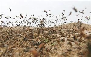 هجوم موج جدید ملخهای صحرایی نابالغ به شهرستان نیکشهر