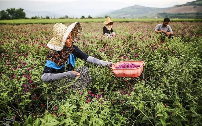 برداشت گل گاوزبان از مزارع گلستان+ تصاویر