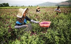 برداشت گل گاوزبان از مزارع گلستان + تصاویر