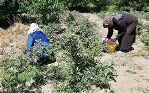 آغاز برداشت ۱۷ تن گلمحمدی در میاندوآب