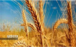 خرید ۳ میلیون و ۸۰۰ هزار تن گندم از کشاورزان