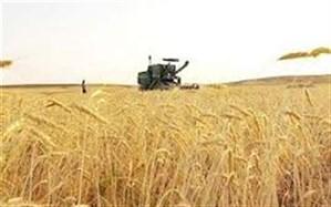 برداشت گندم در ۵۰ درصد  از گندمزارهای میرجاوه