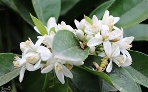 برداشت ۴۳۰ تن شکوفههای بهار نارنج از باغهای مرکبات گیلان