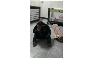 بازگشت «باران» شامپانزه معروف به مجموعه ارم