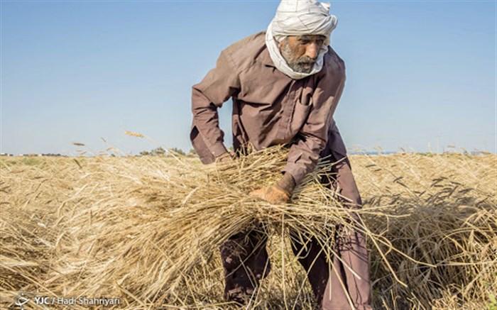 کار برداشت گندم در سیستان وبلوچستان رو به اتمام است.