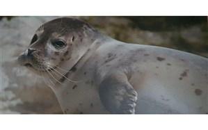 کشف لاشه یک قلاده فوک خزری در ساحل رودسر