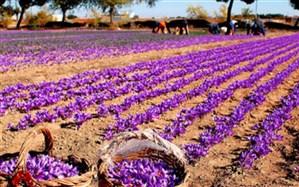 چرا زعفران کشاورزان به قیمت مصوب خریداری نمیشود؟