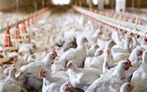 بدهی بانکی پرورشدهندگان مرغ آسیبدیده از کرونا یکسال استمهال شد