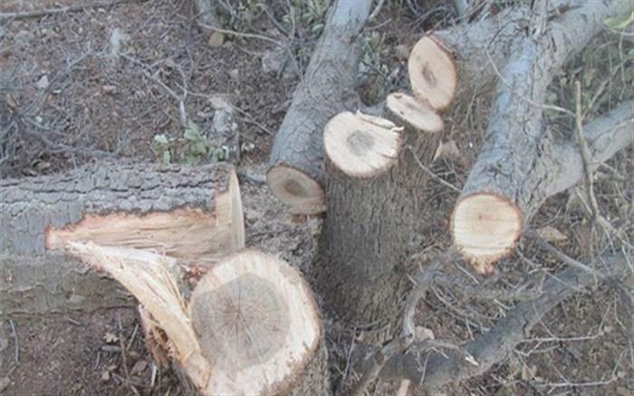 شناسایی قاتل درختان بلوط منطقه بلوط دان شوسنی شهرستان رستم
