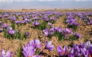 تکذیب  توزیع زعفران در بازار داخل