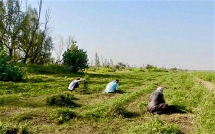 برداشت  افزون بر ۵ هزار تن حنا در شهرستان دلگان