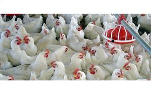 صادرات ۱۳ میلیون دلاری مرغ در سه ماهه نخست سال