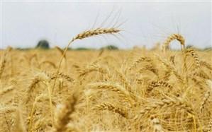 ممنوعیت واردات گندم ادامهدار است