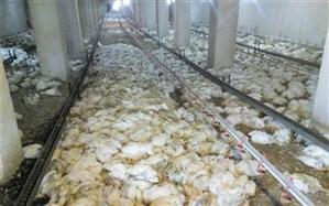 5 هزار قطعه مرغ در شهرستان  لنده  بر اثر گرمای شدید تلف شدند
