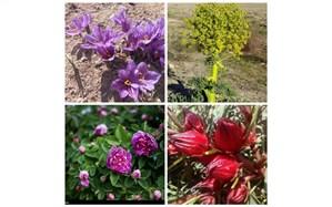 کاشت گیاهان دارویی راهکاری برای برون رفت از خشکسالی