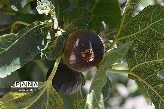 به ثمر رسیدن میوه انجیر در مزارع شهرستان خوسف