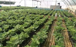 احداث گلخانه، راهکار حل سریع دو چالش آب و اشتغال