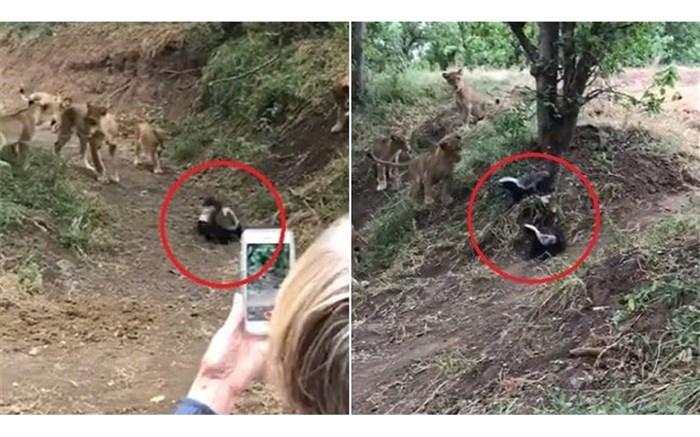 تسلیم سلطان جنگل در برابر گورکن عسل خوار! + ویدئو