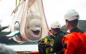 تصاویر/ جابجایی نهنگهای خندان!
