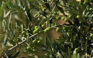برداشت زیتون از باغ های رودبار گیلان آغاز شد