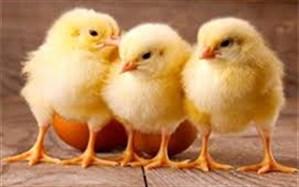 افت تولید و کمبود نهادهها علت افزایش قیمت تخم مرغ است