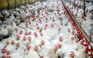 بخش عمده سبد خانوار ایرانی را مصرف مرغ تشکیل میدهد