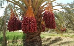 پیش بینی برداشت بیش از 23 هزار تن خرما از نخلستانهای سیب و سوران