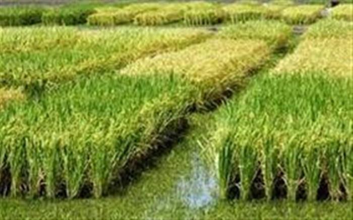 همت کشاورزان برای سبز کردن شالیزارها در نیمه دوم سال