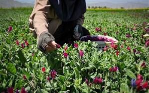 سالانه بیشاز پنج تن گیاه دارویی در ایرانشهر برداشت میشود