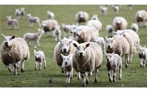 افزایش ۰.۳ درصدی  تعداد گوسفند و بره در دامداریها