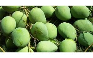 بازگشت ۵ محموله بار میوه انبه آلوده به کشور پاکستان