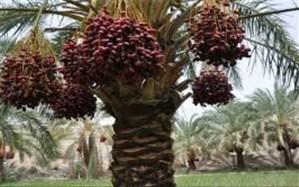 خرمای ایرانشهر به کشورها ی اروپایی صادر میشود