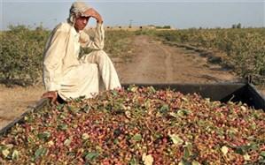 بیش از ۱۱ هزار تن پسته در سیستان و بلوچستان برداشت شد