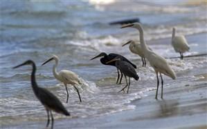 ورود نخستین دسته از پرندگان مهاجر به  کنارک