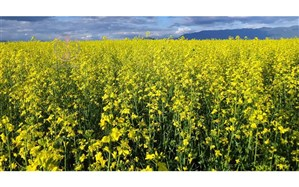کشت قراردادی دانههای روغنی از  سیاستهای وزارت جهاد کشاورزی است