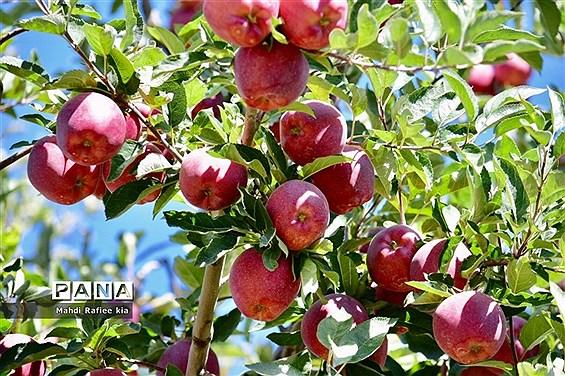 برداشت سیب در مراغه