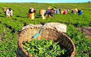 ضرورت برنامهریزی برای افزایش تولید چای ایرانی