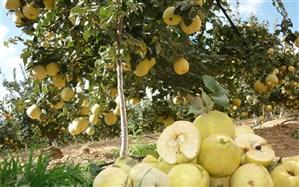 برداشت میوه «بِه» از باغهای شهرستان نیریز آغاز شد