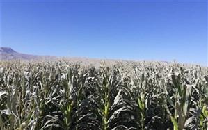 سرمازدگی بیش از یک هزار و 570 هکتار از مزارع ذرت در مرودشت