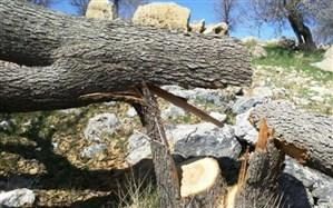 کاشت و نگهداری 15 نهال بلوط مجازات متخلف قطع درختان بلوط
