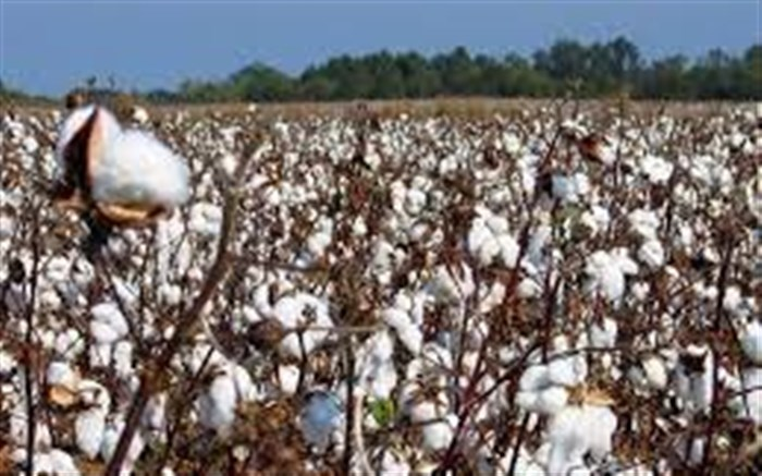 برداشت 16 هزار تن پنبه از سطح مزارع پنبه در نیشابور