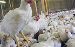وزیر جهاد کشاورزی: مرغ کیلویی ۱۸ و ۵۰۰ در تمام فروشگاهها موجود است