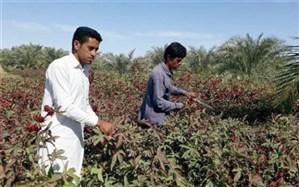 پیش بینی برداشت 580 تن چای ترش در سیستان و بلوچستان