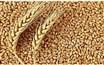 روایتی از دلایل کاهش تولید گندم