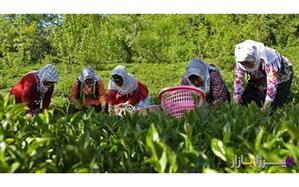 ۶ هزار هکتار باغ چای در کشور رها شده است
