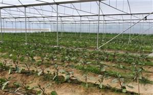 افزایش ١٠٠ درصدی سطح زیر کشت محصولات گلخانه ای در سیب و سوران